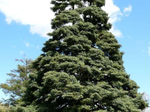Abies pinsapo (Spanish fir). Photo by Kevin Wiecks