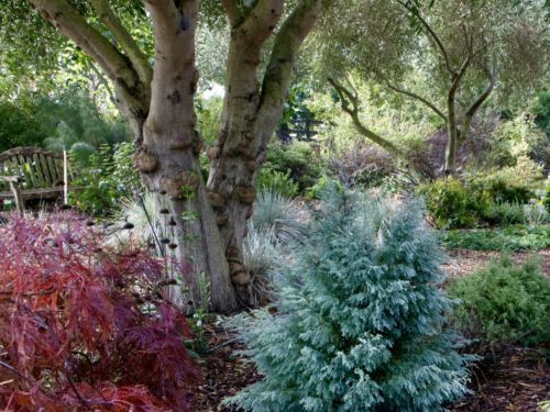 Japanese maple and conifer with a different supporting cast. Photo by Janice LeCocq