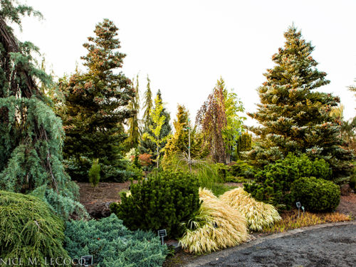 The conifer collection at The Oregon Garden. Photo by Janice LeCocq