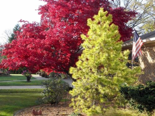 Finally, a conifer decides it wants to play with hot colors, too