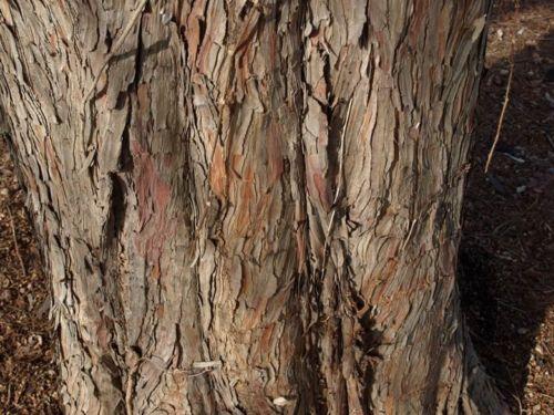 Taxodium distichum bark of an older tree.