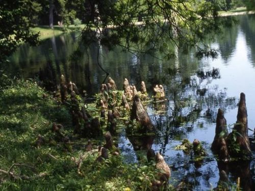 Knees form on both bald cypress and pond cypress