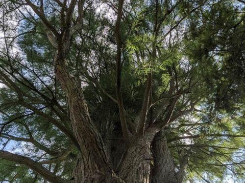 Taxodium ascendens 'Morris' (Debonair®) original plant at Morris Arboretum of the University of Pennsylvania, Philadelphia PA.