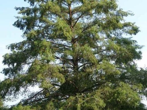 Summer profile of Taxodium distichum at Frelinghuysen Arboretum, Morristown, NJ