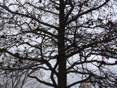 Cones of Taxodium distichum in mid-winter, Frelinghuysen Arboretum, Morristown, NJ.