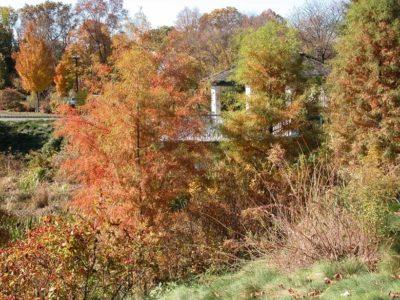 Taxodium ascendens 'Nutans' on the upper pond bank at Frelinghuysen Arboretum, Morristown, NJ in October.