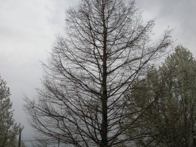 Winter profile of a Taxodium distichum at Frelinghuysen Arboretum, Morristown, NJ