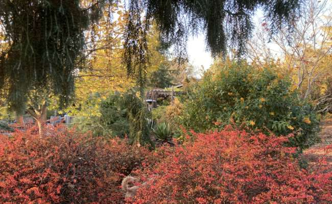 Fall Foliage Color in the Conifer Garden