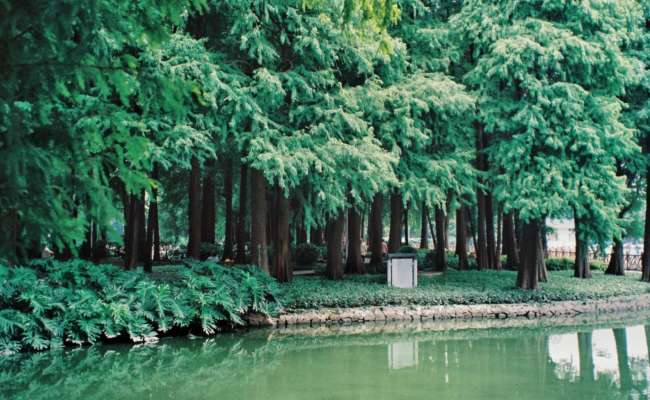 Bald Cypress - a Great Tree for the Home Landscape