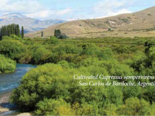 Cultivated conifers, Italian cypress (Cupressus sempervirens) at San Carlos de Bariloche, Argentina