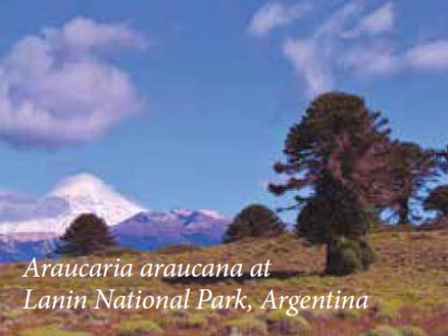 The coniferous monkey puzzle tree (Araucaria araucana) at Lanin National Park, Argentina