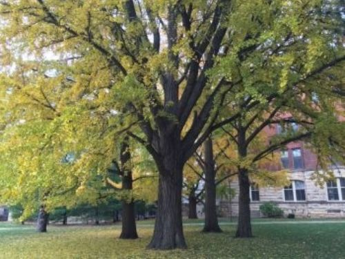 The grove of ginkgo exhibiting autumnal display, near Catt Hall on the Iowa State University campus