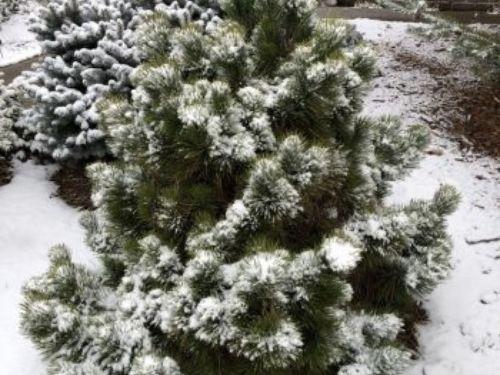 'Thunderhead' Japanese black pine (Pinus thunbergii).