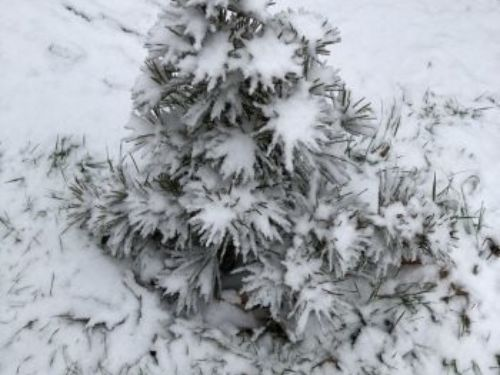 Sciadopitys verticillata. A native of Japan, it is no stranger to snow.