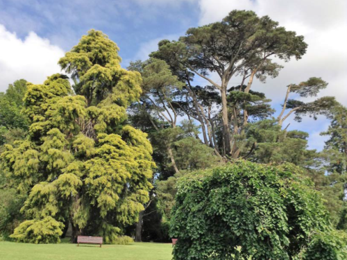 The conifer, Bhutan cypress (Cupressus torulosa) behind the bench at Royal Botanical Gardens, Melbourne