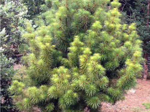 The conifer, Cathay silver fir (Cathaya argyrophylla)