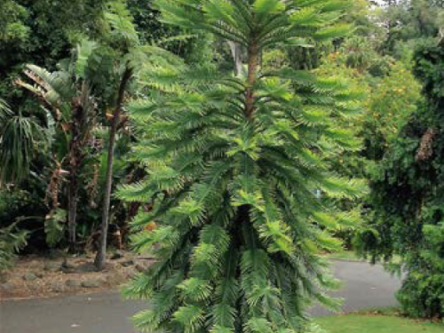 The conifer, wollemi pine (Wollemia nobilis) at the Royal Botanical Gardens, Melbourne