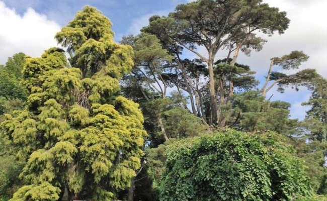 A Tour of Conifers in Australia