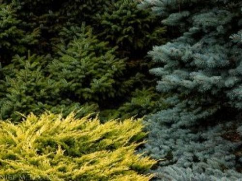 Gold, green and blue and they are all conifers! Photo by Janice LeCocq