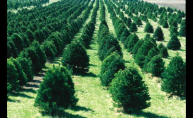 What is a Conifer Tree?