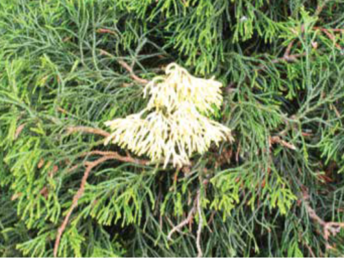 A creamy sport on Chamaecyparis obtusa 'Tsatsumi'